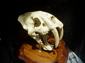 Saber Tooth Tiger Skull  Scaled Replica  Ca 1940s