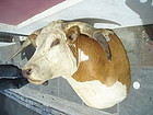 Lge Shoulder Mount Hereford Bull's Head