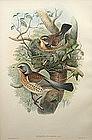 John Gould hand colored lithograph print Turdus Pilaris