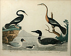 "Alexander Wilson, ""American Ornithology"", Plate 74"