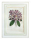 """The Botanical Magazine"" English Botanical Engraving"