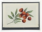 Chinese Pith Paper Painting with Lychee, 19th C.