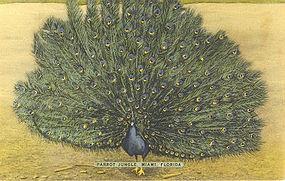 """""""Parrot Jungle Peacock"""" Vintage Linen Postcard"""