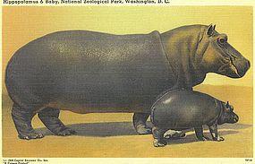 """Hippopotamus & Baby, National Zoological Park"""
