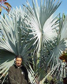Rare Palms, Bismarckia nobolis