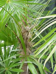 Zombia Palm, Haiti Voudou Palm