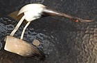 Horn ~ EGRET BIRD ~ Ornament