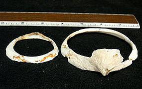 Hohokam Frog Head Shell Bracelet with extra shell brace