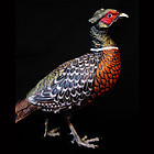 Carl Kauba Painted Pheasant, Bronze