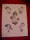 Mushroom species print, by Dathe 1973