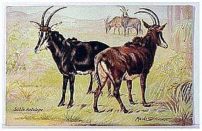 """Raphael Tuck """"Oilette"""" Sable Antelope (Maude Scrivner)"""