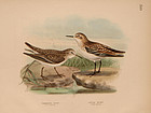 Dresser Birds of Europe Little Stint Lithograph Print