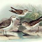 Dresser Birds of Europe American Stint Lithograph Print