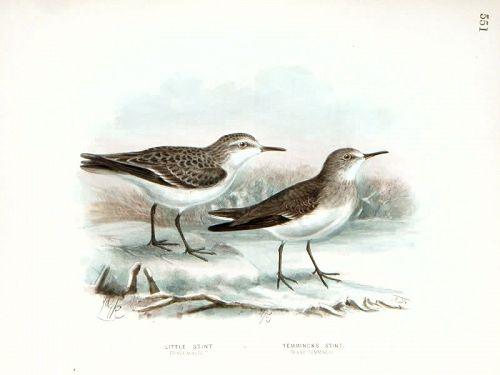 Dresser Birds of Europe Temminck's Stint Lithograph