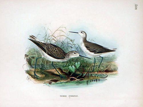 Dresser Birds of Europe Marsh Sandpiper  Lithograph
