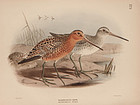 Dresser Birds of Europe Redbreasted Snipe Lithograph