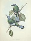 Gould Birds of Asia Antique Print Green Cochoa