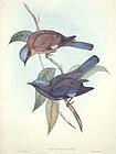 Gould Birds of Asia Antique Print Purple Cochoa