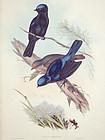 Gould Birds of Asia Antique Print Grand Niltava