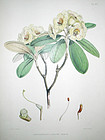 Sir W. J. Hooker Antique Print Wooly Rhododendron