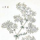 Elizabeth Blackwell A Curious Herbal Ladies Bedstraw