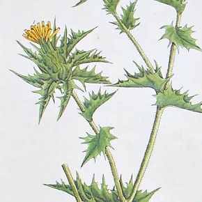 Elizabeth Blackwell A Curious Herbal Distaff Thistle