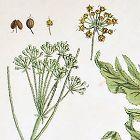 Elizabeth Blackwell A Curious Herbal  434  Hercules All