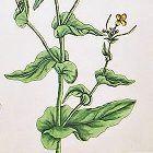 Elizabeth Blackwell A Curious Herbal  410   Sweet Naven