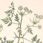 Elizabeth Blackwell A Curious Herbal Hemlock
