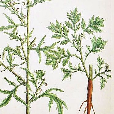 Elizabeth Blackwell A Curious Herbal   Mugwort