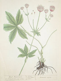 Elizabeth Blackwell A Curious Herbal Black Masterwort