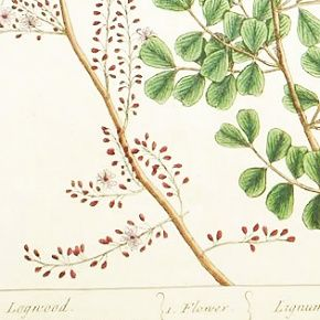Elizabeth Blackwell A Curious Herbal Logwood Lignum