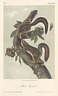 Audubon 8vo Hare Squirrel Hand Colored Lithograph