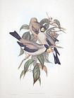 Gould Birds of Asia Antique Print Masked Grosbeak