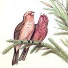 Gould Birds of Asia Antique Print Caucasian Grosbeak