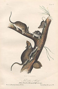 Audubon 8vo Florida Rat Hand Colored Lithograph