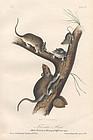 Audubon 8vo Florida Rat Hand Colored Lithograph