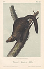 Audubon 8vo  Fisher Hand Colored Lithograph