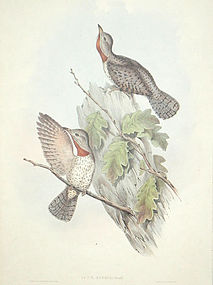 Gould Birds of Asia Antique Print Indian Wryneck