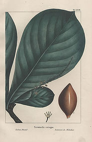 North American Sylva Indian Almond