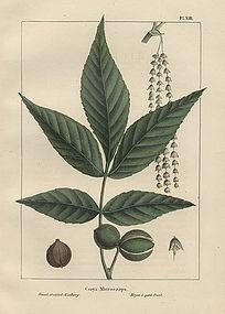 North American Sylva Small Fruited Hickory