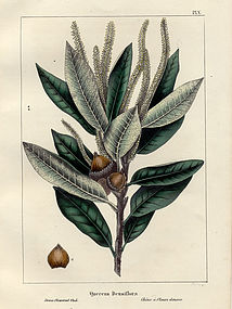 North American Sylva Dense Flowered Oak