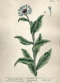 Blackwell Botanical Print 1737, The Great Blew-bottle