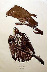 Audubon Birds of America, Labrador Falcon