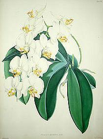 Warner Orchid, Phalaenopsis Grandiflora Aurea