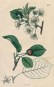 Sowerby English Botany, Morello Cherry-tree