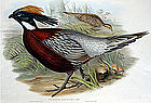 Gould Birds of Asia, Kafiristan Pucras Pheasant