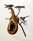 Audubon Birds of America Purple Martin