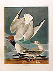 Audubon Birds of America Bonapartian Gull