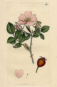 Sowerby English Botany, Sweet Briar